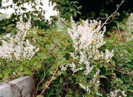 kletterpflanzen fã r balkon schnell wachsende rankpflanzen gartner patschkes geiablatt