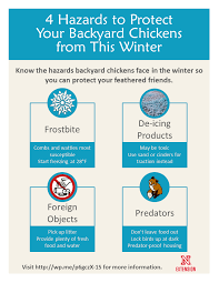 4 hazards to protect your backyard chickens from this winter