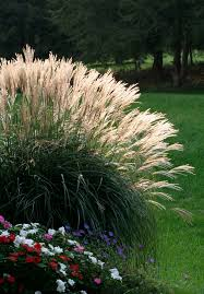best 25 landscape grasses ideas on drought tolerant