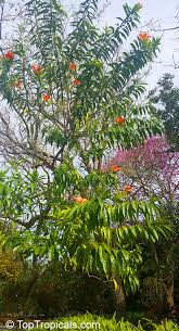erblichia odorata flor de fuego butterfly tree toptropicals
