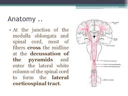 Pyramids Of The Medulla Corticospinal Tract Syndrome
