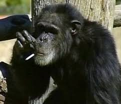 Chimp Meme - charlie the smoking chimp dies aged 52 at least 10 years older