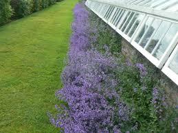 great hedge of nepeta in glenarm castle walled garden gareth