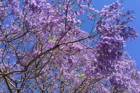 jacaranda tree flowers abc news australian broadcasting