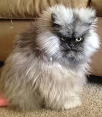 Persian Cat Meme - january 29 colonel meow american himalayan persian cat guinness