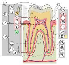 Wheeler S Dental Anatomy Physiology And Occlusion Cusp Anatomy