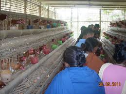 farmers u0027 corner assam live stock and poultry corporation