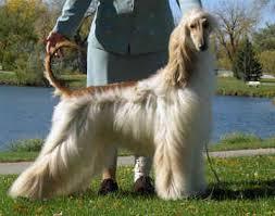 afghan hound adoption florida afghan hound with short hair most gorgeous dog breeds