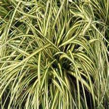 ornamental grasses garden plants flowers the home depot