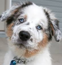 australian shepherd youtube herding 5 popular hunting and herding dog breeds of the south countrycommon