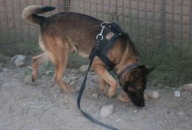 belgian shepherd us army pooch sniffs out things that could go bang article the united