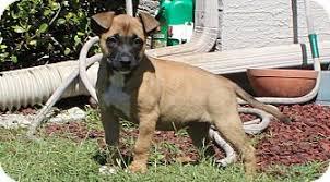 belgian malinois rescue florida hayley adopted puppy weeki wachee fl belgian malinois