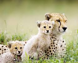 affectionate cheetahs wallpapers 497 best sweet cheetahs images on pinterest big cats baby