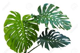 philodendron large green leaves of monstera or split leaf philodendron