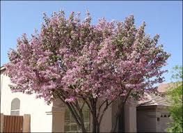 10 best favorite shade trees images on shade trees