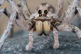 wolf spiders bites babies u0026 other facts