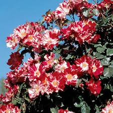 Fragrant Climbing Plants - fragrant roses