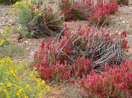 australian native desert plants sticky hop bush flowers blumen fleurs