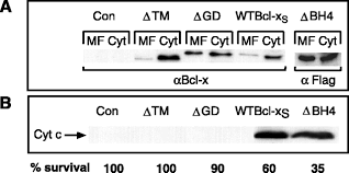 Flag Tag Expression Of Bcl Xs In Xenopus Oocytes Induces Bh3 Dependent And