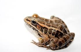 pickerel frog wikipedia