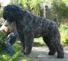 belgian sheepdog hypoallergenic dog breeds that don u0027t shed hypoallergenic dogs