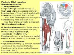Bicep Innervation Lower Limb Bone Muscles Nerves And Vessels Ppt Video Online