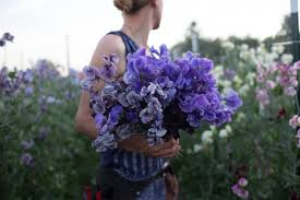 sweet peas flowers how i became a flower farmer floret flowers