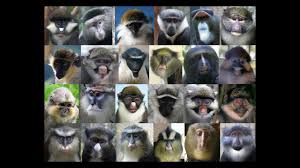 monkey u0027s face says u0027don u0027t mate with me u0027 science aaas