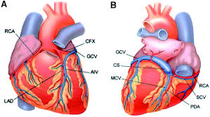 Heart External Anatomy Lad In Heart Anatomy Gallery Learn Human Anatomy Image