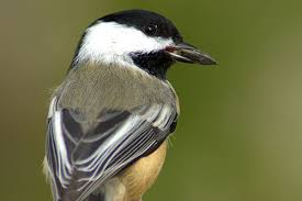 black capped chickadee information photos and facts american