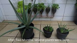 how to grow aloe vera at home is very easy youtube