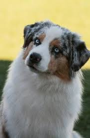 australian shepherd kennel club desert sun miniature australian shepherd girls