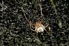common names spidersrule
