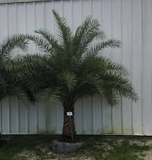 sylvester date palm tree sylvester palm 4 tree depot buy trees and landscaping services