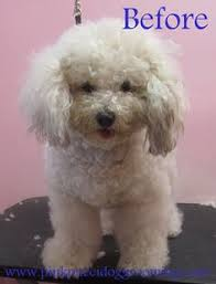 haircutsfordogs poodlemix avatar the chipoo before after grooming dog grooming before
