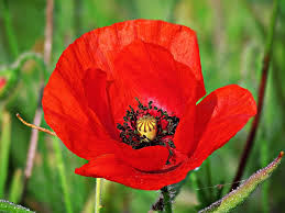 poppies flowers free photo poppy poppies flower free image on pixabay