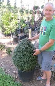 Topiaries Plants - 73 best garden plants accent images on pinterest garden