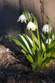 plants native to russia leucojum vernum the medieval garden enclosed the metropolitan