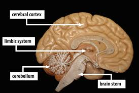 Which Part Of The Brain Consists Of Two Hemispheres The Brain And Nervous System Noba