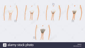 pubic hairs pics development pubic hair girls girls stock photo 40145484 alamy