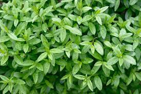 native hedging plants uk packs of privet hedging plants ligustrum ovalifolium bare root