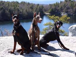 belgian shepherd vs doberman 10 things only a doberman pinscher owner would understand