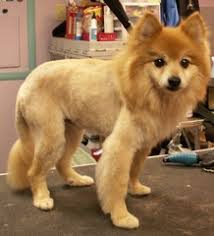 summer haircut pomeranian more before after groom pics