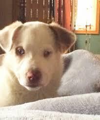 australian shepherd rescue nc aussie u2013 deaf dogs rock
