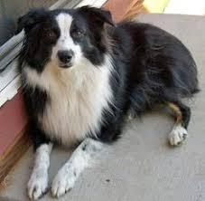 australian shepherd iq australian shepherd puppy to dog youtube dogs pinterest