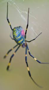 Male Spider Anatomy Best 25 Spider Ideas On Pinterest Black Widow Spider Spider
