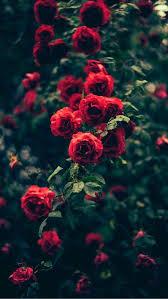 best 25 rose flowers ideas on pinterest beautiful rose flowers