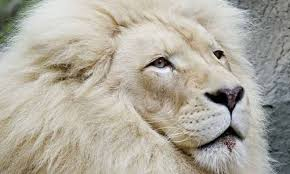 male lion wallpapers 26 truly magnificent white lion wallpapers to spice up your