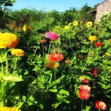 zinnias are some of the most fabulous flowers i plant them down