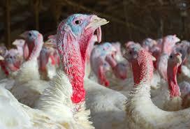 thanksgiving turkey shortage let u0027s talk turkey iowa turkey federation